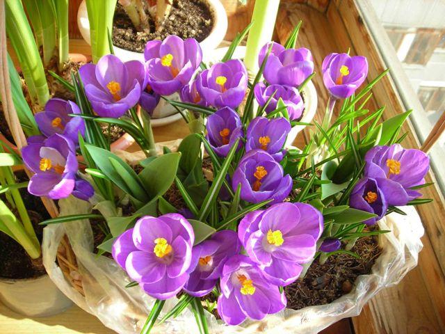 Букет первоцветов крокусов в горшочке для мамы