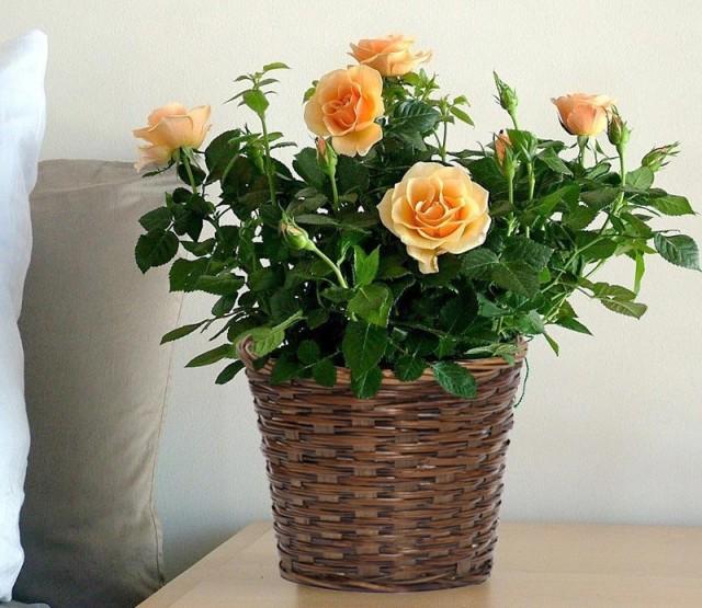 Комнатный цветок в подарок