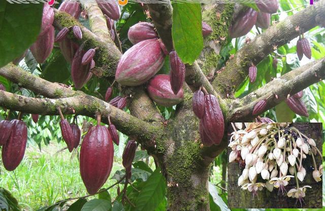 Плантации какао деревьев