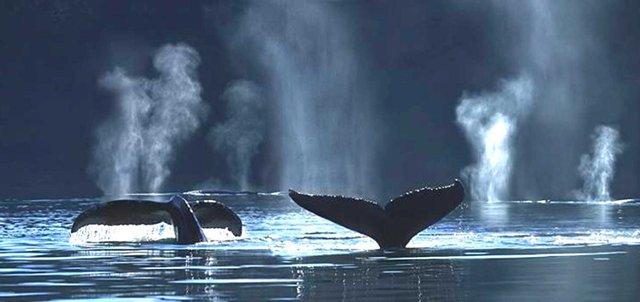Как дышат киты