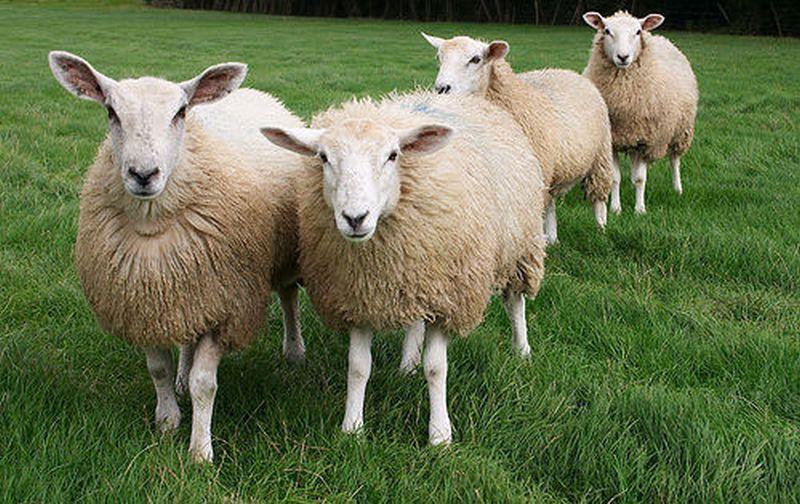 Овцы сбиваются вместе