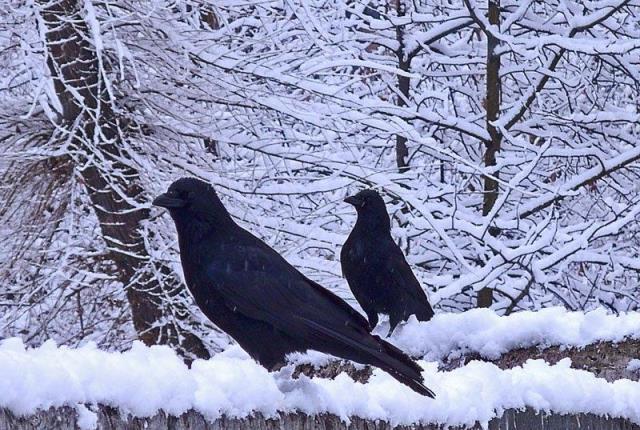 Вороны зимой